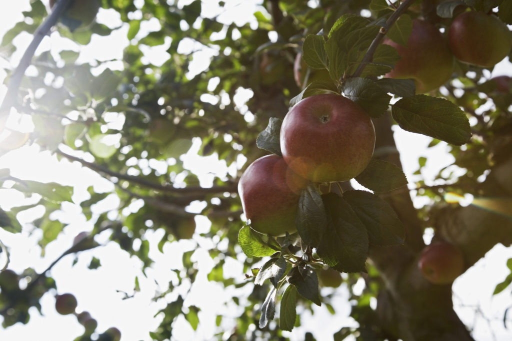 Apples and Quince and Figs? Oh My...